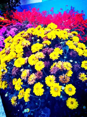 Colourful flowers Flower Yellow Multi Colored Fragility Variation Growth Beauty In Nature Nature Outdoors Day Petal No People Plant Freshness Close-up Powder Paint Flower Head Blooming EyeEmNewHere Press For Progress