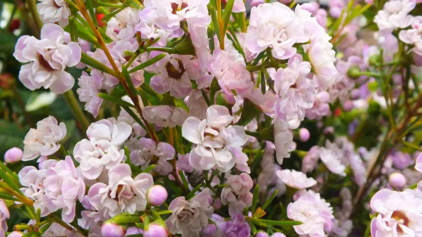 """""""ワックスフラワー"""" Beautiful Enjoying Life Flowerporn Flower Flowers Cute♡"""