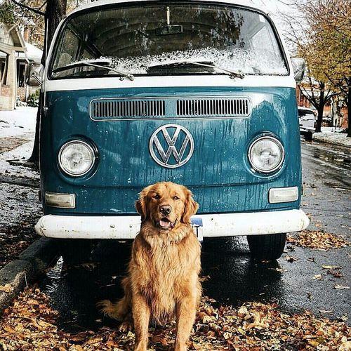 Köpek Dost Volkswagen Transporter Tatlı  Dog