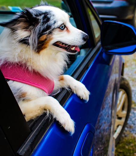 High Angle View Of Australian Shepherd Sitting At Car Window