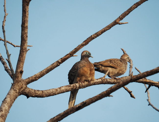 Nature And Wildlife Photography, Birds Collections, Peaceful Doves, Beauty In Nature Perching Tree