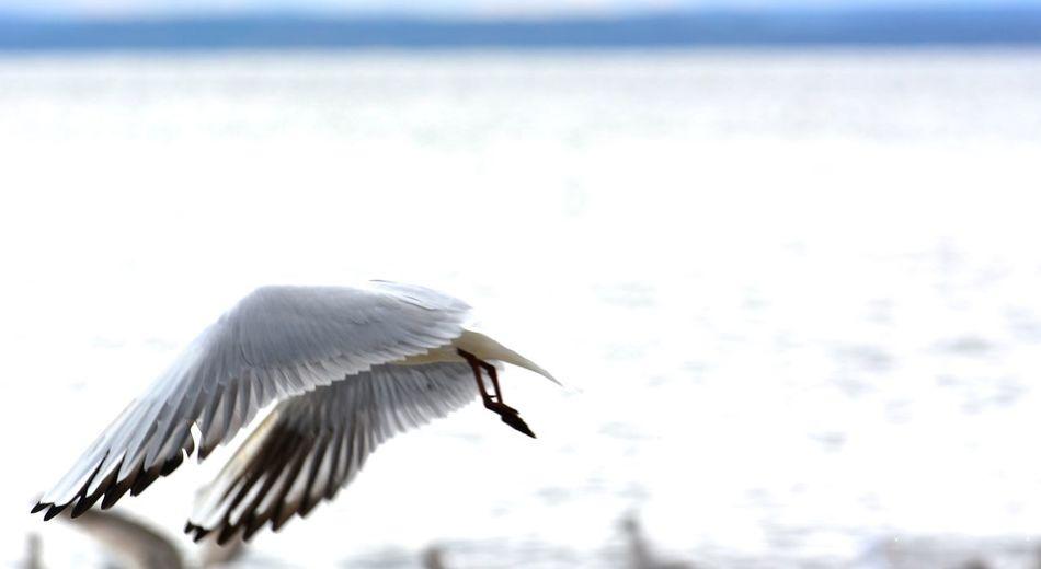Mewa w Kuźnicy - Fulinowi Birds , Beach Sand Sea