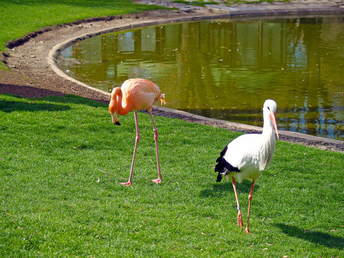 Ciconia ciconia and Phoenicopterus - Stork and flamingo on a zoo Animal Animal Themes Animal Wildlife Animals In The Wild Beauty In Nature Birds Fauna Flamingo Flamingo Grass Green Color Lake Nature No People Ornithology  Outdoors Stork Water Wild Wildlife Zoo Zoo Animals  Phoenicopterus Ciconia Ciconia