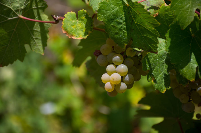 Vines Wein Agriculture Beauty In Nature Close-up Focus On Foreground Food Food And Drink Freshness Fruit Grape Growth Hanging Outdoors Plant Rebel Trauben Vineyard Weintrauben