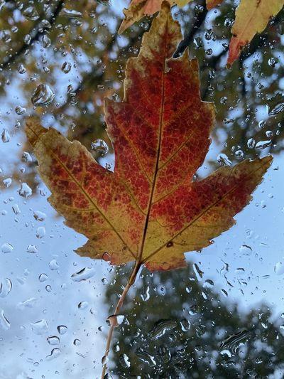 Close-up of raindrops on maple leaves during rainy season
