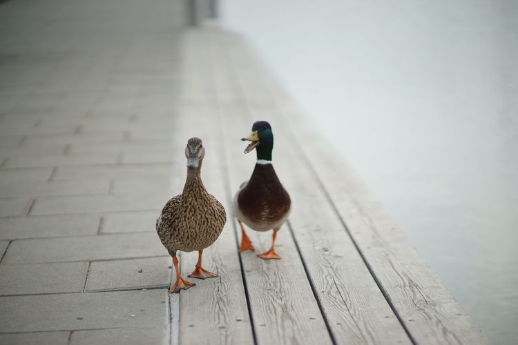 Duck Ducks Ducks At The Lake Pier Talking Talking Pictures Bird Animal Outdoors Animal Themes Nature No People Day Lake