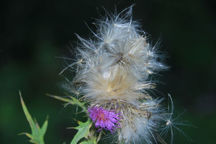 Thistle Fade