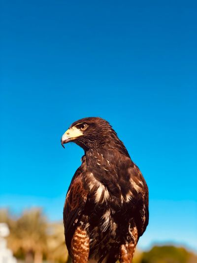 Harris hawk One Animal Bird Animal Themes Vertebrate Animals In The Wild Animal Sky Animal Wildlife Focus On Foreground Outdoors Perching Close-up Sunlight Copy Space No People Bird Of Prey Blue Clear Sky Nature Day