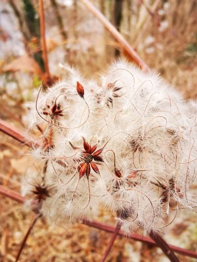 Close-up of wilted dandelion flower on field