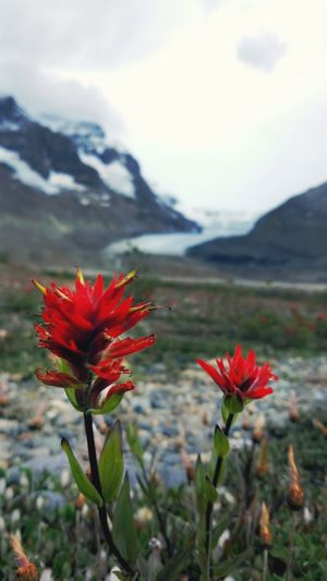 Nature Landscape Mountain Mountain Range Glacier Athabasca Glacier Flower Red Red Flower Indian Paintbrush Two Flowers Cold Close-up Outdoors Banff National Park