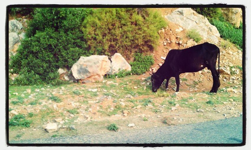 Nature Wildlife Cow