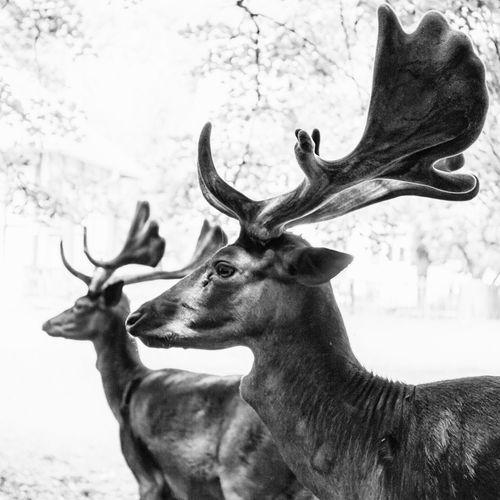 Side view of deer