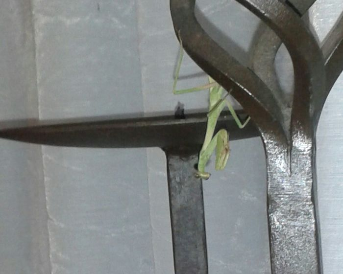 Insect Praying Mantis Indoor Living Room No People Pet Portraits Upside Down Color Indoors  Predator