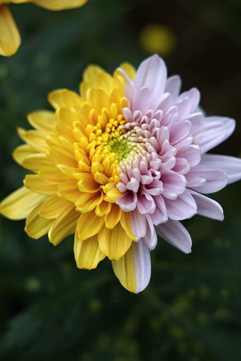 Close-up of yellow dahlia flower