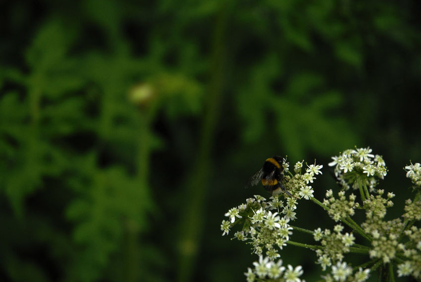 Bee on cow parsley Animals In The Wild Beauty In Nature Bee Canals And Waterways Close-up Cow Parsley Ecology English Countryside Environment Green Color Insect Nature No People One Animal One Insect Plant Room For Copy