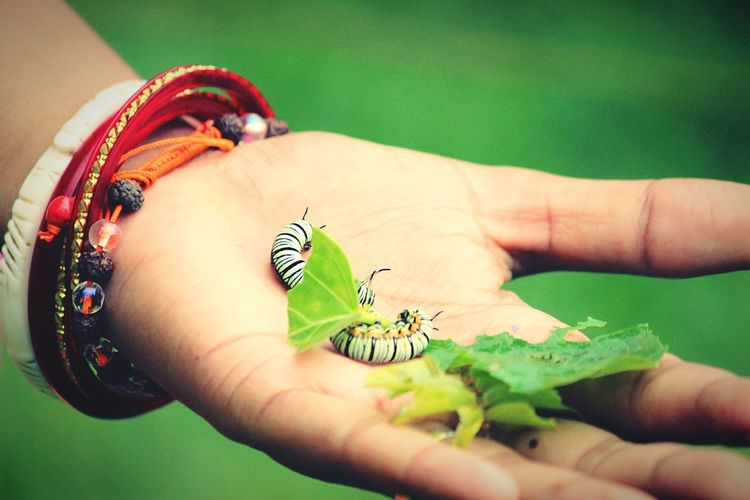Cropped hand holding caterpillars