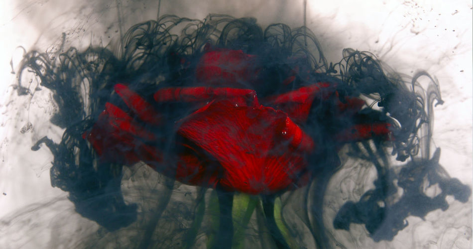 Bright red rose covered in a black cloud of uncertainty. Hardship / Divorce / Struggles concept Background Black Breakup Cloud Dark Divorce Flower Funeral Funeral Ceremony Gothic Hardship Ink Love Memorizing Reconciliation Red Relationship Relationship Difficulties Rose - Flower Sad Separation Spooky Texture Toxic Valentine