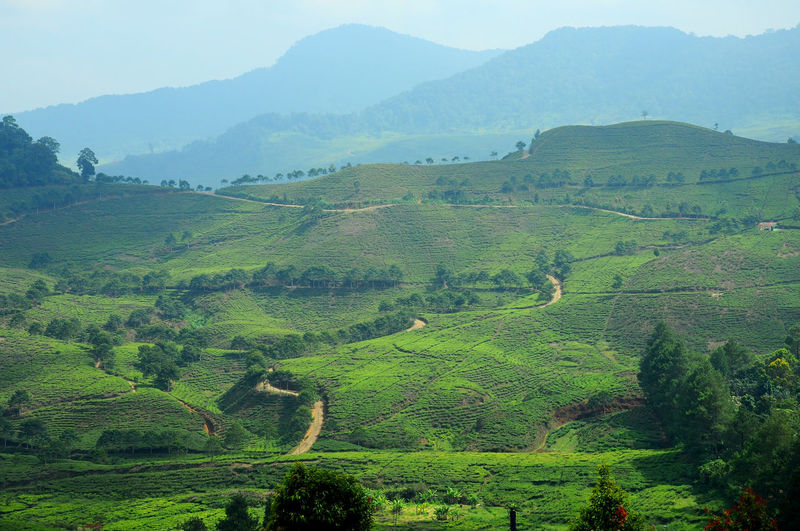 tea land view Agriculture Beauty In Nature Crop  Day Farm Field Green Color Growth Landscape Mountain Nature No People Outdoors Rice Paddy Rural Scene Scenics Sky Tea Crop Terraced Field The Great Outdoors - 2017 EyeEm Awards Tranquil Scene Tranquility Tree
