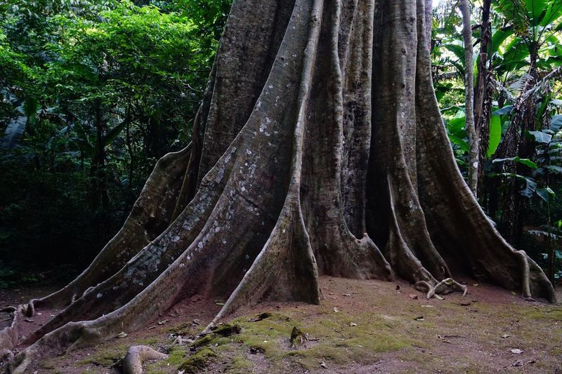 The roots of large trees, banyan trees Giant Banyan Large Root Banyan Trees Tree Plant Growth Trunk Tree Trunk Nature Land Beauty In Nature No People Forest Day Tranquility Outdoors Non-urban Scene Scenics - Nature
