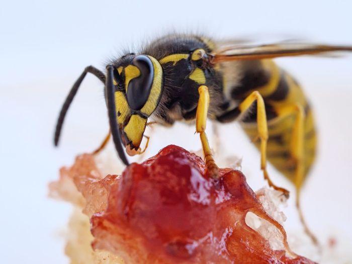 Wasp at