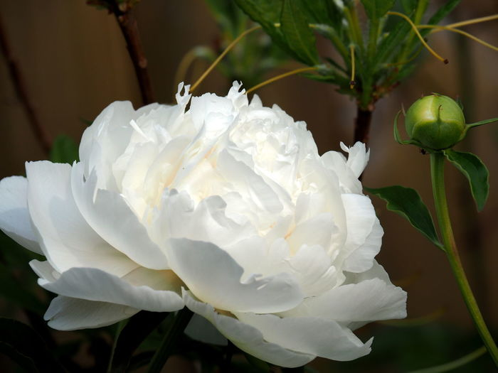 Beauty In Nature Close-up Day Flower Flower Head Flowering Plant Focus On Foreground Fragility Freshness Garden Growth Inflorescence Leaf Nature No People Outdoors Peony  Petal Plant Rosé Rose - Flower Softness Vulnerability  White Color