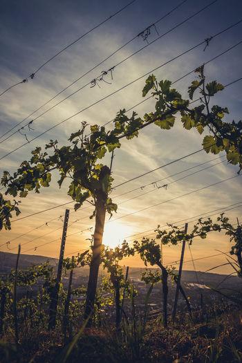 Vineyard Against Sunset Sky