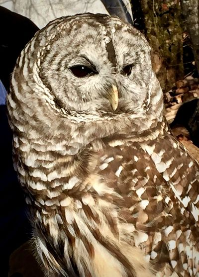 Jessie a Barred Owl Owl Portrait. Nine Years Old Rehabilitation Center This Is Natural Beauty 50 Ways Of Seeing: Gratitude