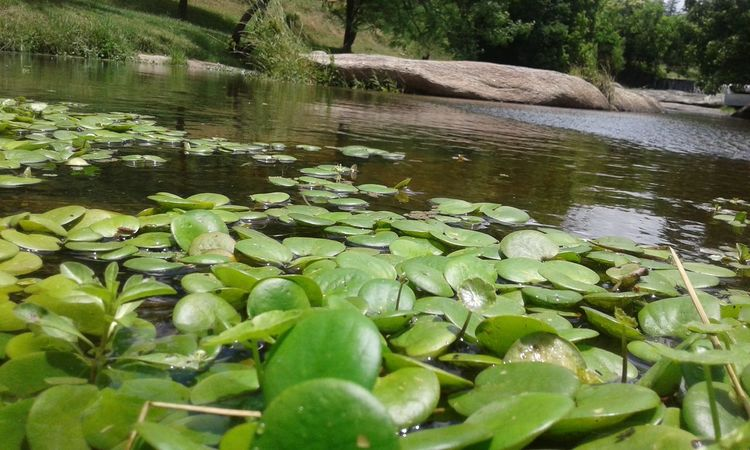 Water Nature Growth Lily Pad Water Lily Floating On Water Lake Beauty In Nature Green Color Leaf Lotus Water Lily Plant No People Day Outdoors Close-up Freshness 3XSPUnity Tanti Scenics Nature Rio River Reflection Relaxing