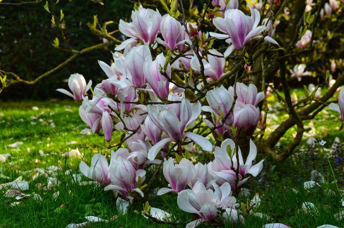 Magnolia Flowers Springtime Spring Flowers Myfavoriteflowers Flower Pink Color Petal Springtime Beauty In Nature Nature Blossom Plant Outdoors Close-up White Color Colour Your Horizn