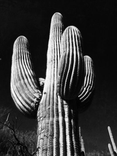 Low Angle View Of Saguaro Cactus Against Sky