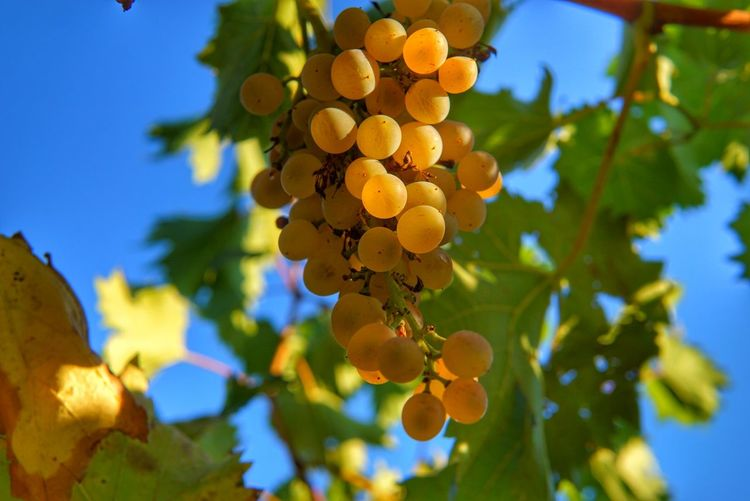 Low Angle View Of Grapes Hanging On Tree