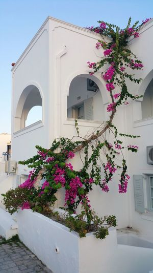 Pink flowering plant by building