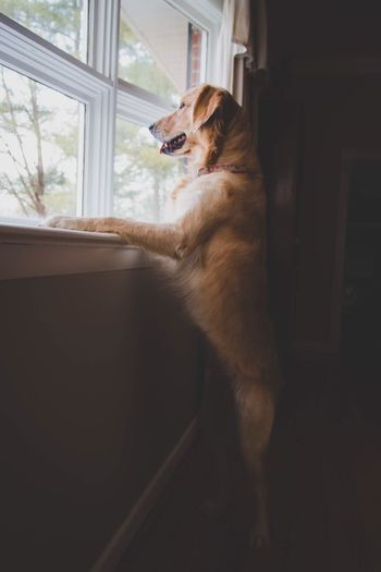 Waiting. One Animal Pets Domestic Animals Animal Themes Window Indoors  Mammal Animal Home Interior No People Dog Goldenretriever Golden Retriever Puppy Light And Shadow