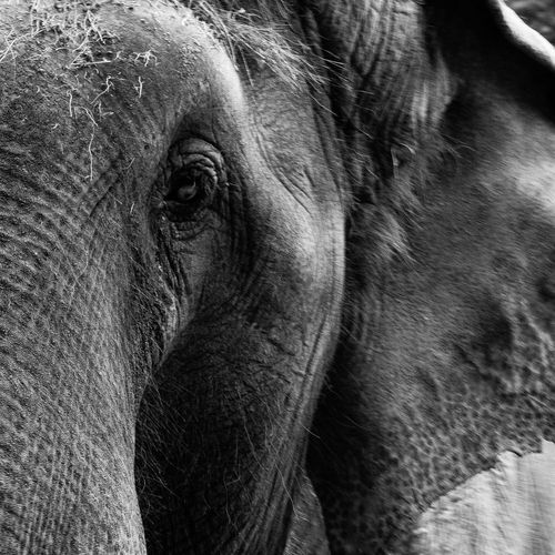 African Elephant Animal Body Part Animal Themes Animal Trunk Animal Wildlife Animals In The Wild Close-up Day Elephant Endangered Species Mammal Nature No People One Animal Outdoors Portrait Safari Animals