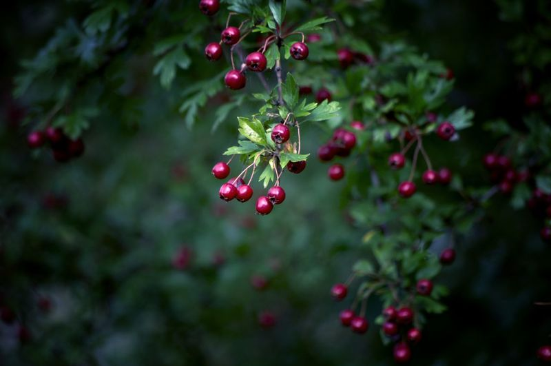 EyeEm Best Shots EyeEm Nature Lover Beauty In Nature Hawthorn Berries WoodLand Tree Branch Fruit Red Leaf Close-up Plant Food And Drink Green Color Berry Fruit Plant Part