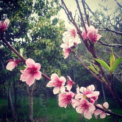 Flor del arbol de durazno :3 Durazno árbol Flores Instalike Beautiful Rama