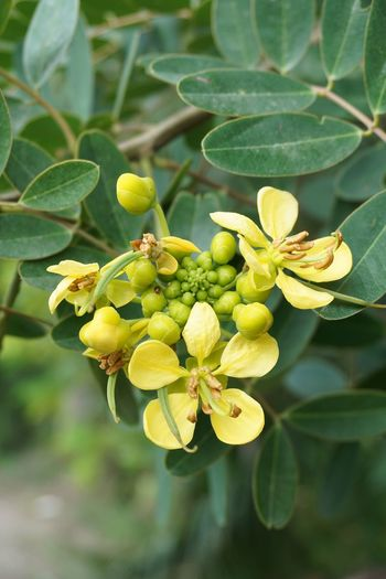 Beautiful Herb Leguminosae Senna Siamea Beauty In Nature Bloom Blooming Cassod Tree Close-up Day Flora Flower Food Food And Drink Freshness Green Color Growth Leaf Nature No People Outdoors Plant Senna Tree Unripe
