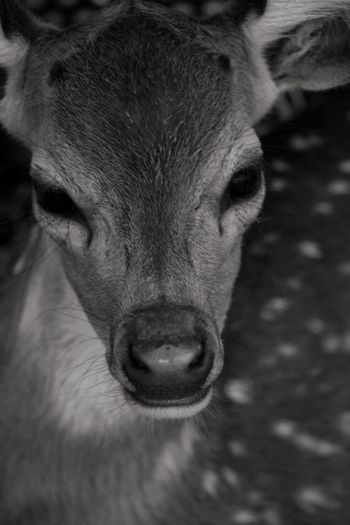 Rescue Animal Deer Fawn Mammal One Animal Domestic Animals Animal Body Part Vertebrate Portrait Close-up Looking At Camera No People Livestock Day Animal Wildlife Focus On Foreground Herbivorous Animal Nose