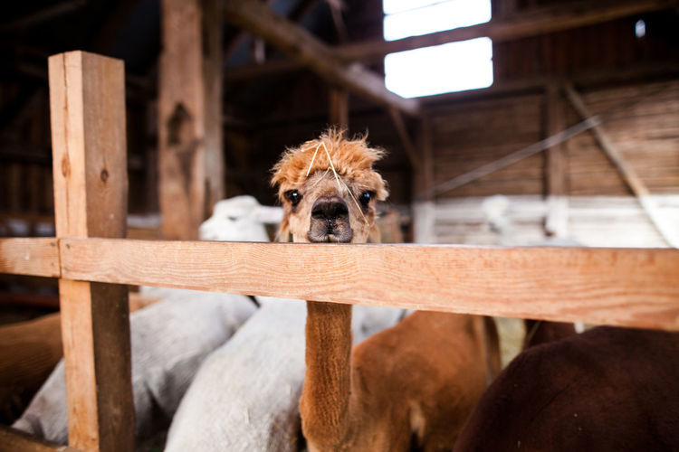 Portrait of llama by railing
