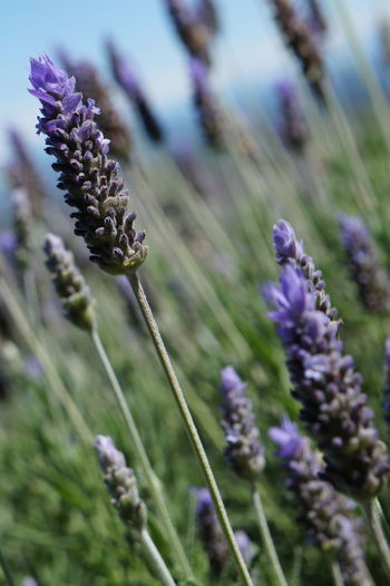 Lavandário Beauty In Nature Blooming Close-up Day Flower Flower Head Fragility Freshness Growth Lavender Nature Outdoors Plant Purple
