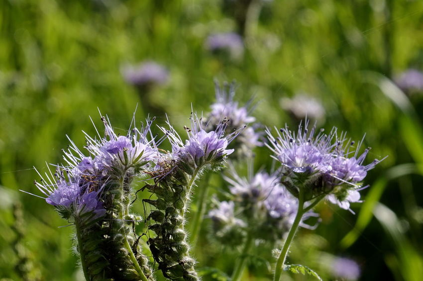 Phacelia Beauty In Nature Bienenweide Blooming Close-up Day Flower Flower Head Fragility Freshness Growth Nature No People Outdoors Plant Purple
