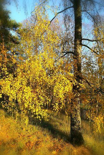 Birch Birch