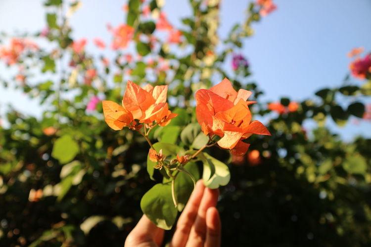 Close-up of hand holding orange flowering plant