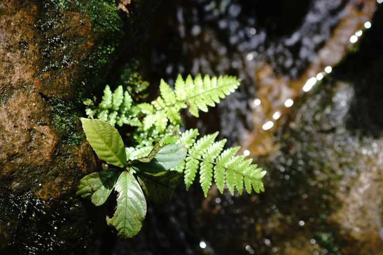 Fern Paku Plant Gunung Salak Fern Leaf Growth Green Color Nature Close-up Plant Fragility Beauty In Nature