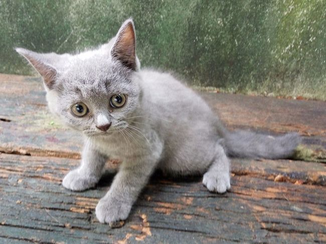 Domestic Cat Pets Feline Domestic Animals Eye Mammal Portrait One Animal Looking At Camera Outdoors Ear Animal Themes No People Day Kitten Close-up Nature