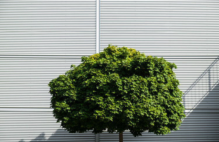 Urbanplantseries Berlin Berlin Photography Minimalist Minimalist Architecture Plants Close-up Corrugated Iron Day Fujifilm_xseries Green Color Growth Minimalism Minimalist Photography  Minimalistic Minimalobsession No People Outdoors Tree Urban Plant Urbanplantseries The Week On EyeEm Fujix_berlin