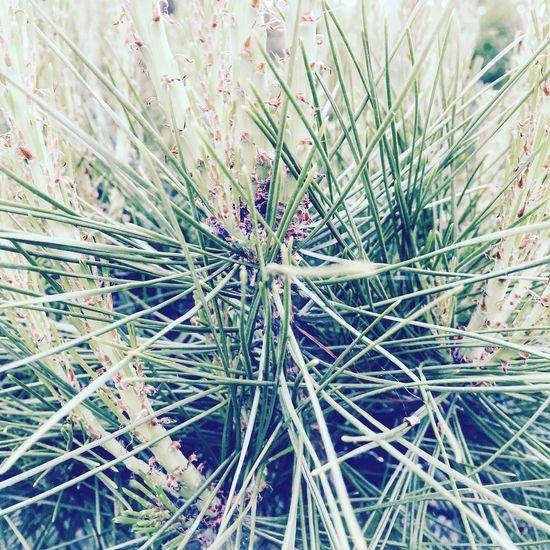 松葉 自然 庭 里山 田舎暮らし Pineneedles Nature Garden IPhoneography Spring Japan