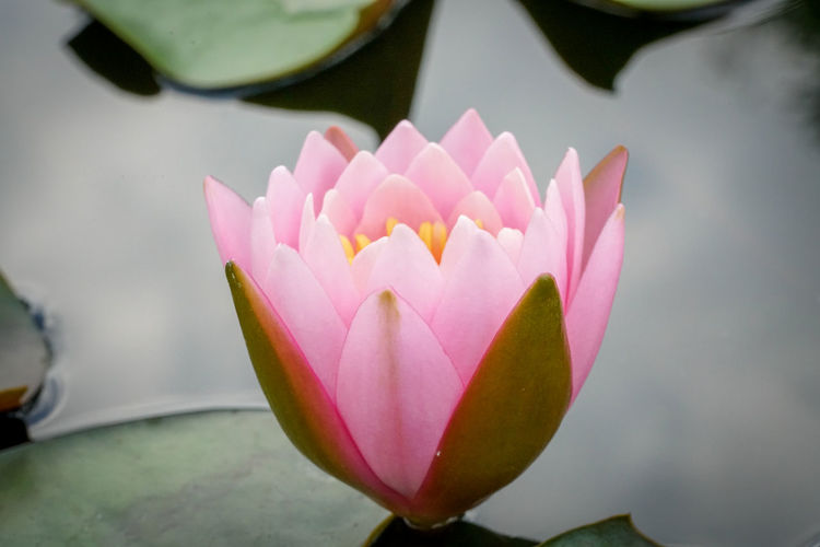Flowering Plant Flower Plant Freshness Petal Beauty In Nature Vulnerability  Fragility Close-up Water Lily Inflorescence Flower Head Pink Color Growth Leaf Nature Plant Part Pond Lotus Water Lily No People Outdoors Floating On Water Purple