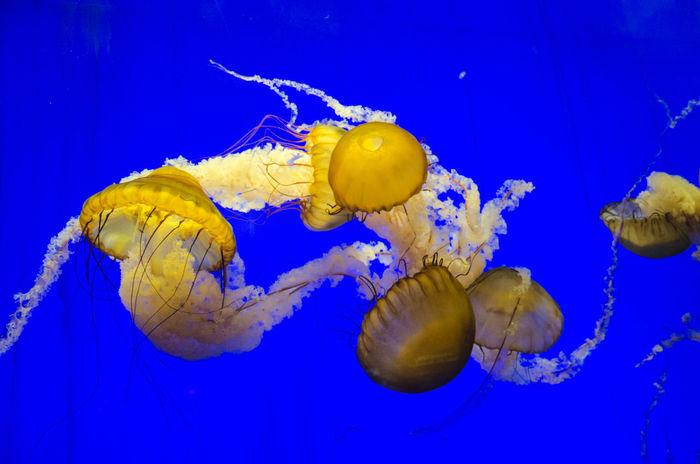 Jellyfish in an aquarium. Chrysaora Fuscescens Shanghai Animal Themes Aquarium Blue Blue Illumination Blue Water Close-up Floating In Water Illuminated Illumination Illuminations Immuminated Jellyfish Nature No People Oceanarium Sea Life Swimming UnderSea Underwater Water