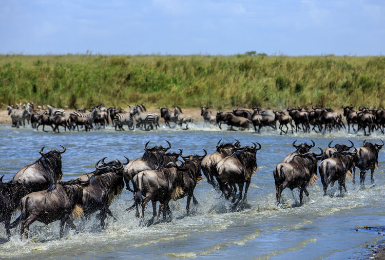 Wildebeests And Zebras At Lake